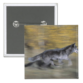 A black wolf on the run pinback button