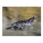 A black wolf on the run post card