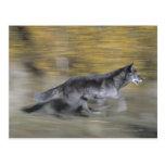 A black wolf on the run postcard