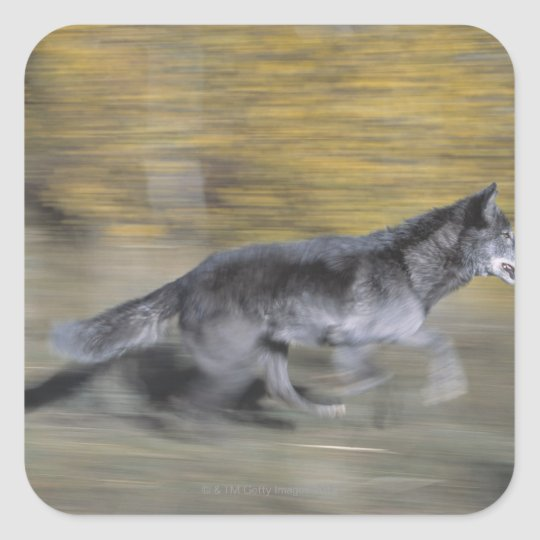 A black wolf on the run square sticker
