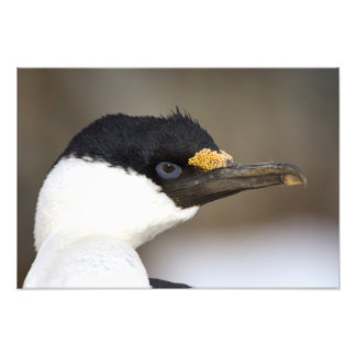 A blue-eyed shag in Antarctica Photographic Print