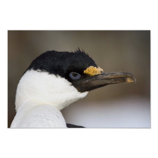 A blue-eyed shag in Antarctica Poster