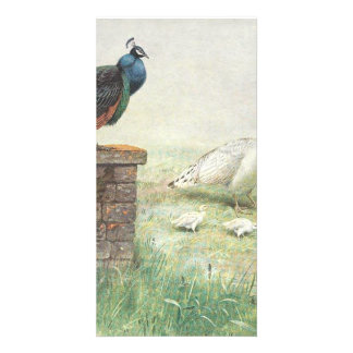 A Blue Peacock and white peahen with chicks Card