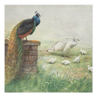 A Blue Peacock and white peahen with chicks Poster