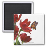 a bouquet of red tulips is visited by a monarch magnets