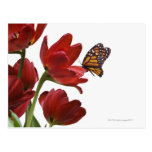 a bouquet of red tulips is visited by a monarch postcard