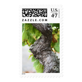 A branch of a very old vine with gnarled postage