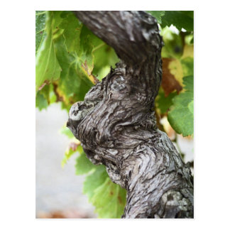 A branch of a very old vine with gnarled postcards