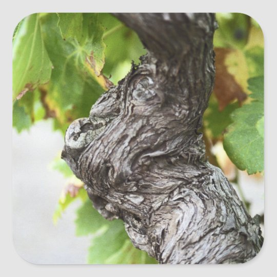 A branch of a very old vine with gnarled square sticker