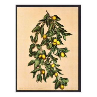 A branch of lemons, Limone, Garda, Lake of, Italy Postcard