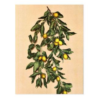 A branch of lemons, Limone, Garda, Lake of, Italy Post Cards