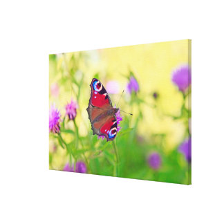 A brightly coloured Peacock butterfly is Canvas Print