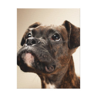 A Brindle Boxer puppy looking up curiously. Canvas Print