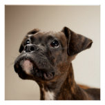 A Brindle Boxer puppy looking up curiously. Poster