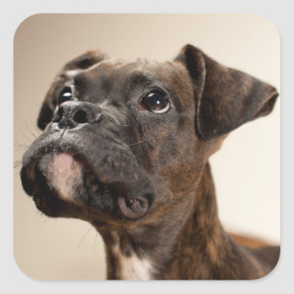 A Brindle Boxer puppy looking up curiously. Square Sticker