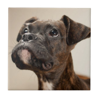 A Brindle Boxer puppy looking up curiously. Tile