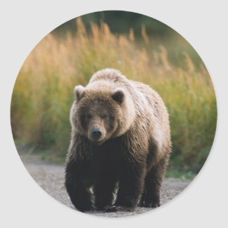 A Brown Bear Walking on a Trail Classic Round Sticker