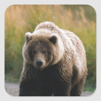 A Brown Bear Walking on a Trail Square Sticker