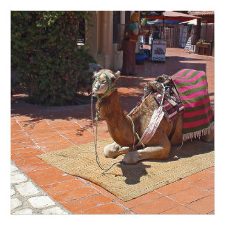 A Brown Camel laying down with Saddle and Blanket Photo Print