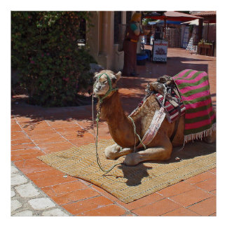 A Brown Camel laying down with Saddle and Blanket Poster