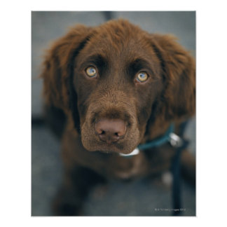A brown dog. poster