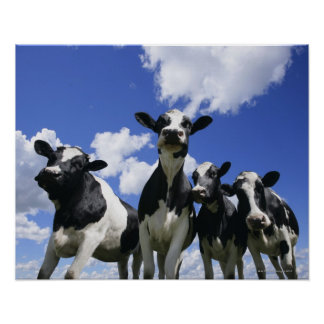 A bugs eye view of four young calves poster