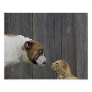 A Bulldog and a cat are face-to-face in a stand Posters
