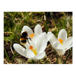 A bumblebee flying ton of A crocus more flower Postcard