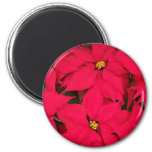 A bunch of Brightly Colored Christmas Poinsettias 2 Inch Round Magnet