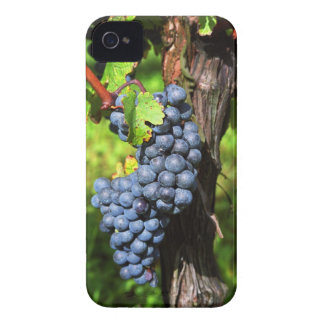 A bunch of grapes ripe merlot on a vine with Case-Mate iPhone 4 cases