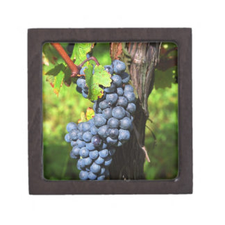 A bunch of grapes ripe merlot on a vine with gift box