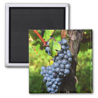 A bunch of grapes ripe merlot on a vine with fridge magnets