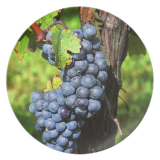 A bunch of grapes ripe merlot on a vine with dinner plate