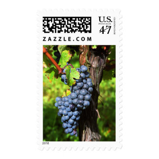 A bunch of grapes ripe merlot on a vine with postage