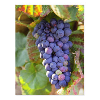 A bunch of Pinot Noir grapes in a Chambertin Postcard
