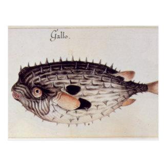 A Burrfish Postcard