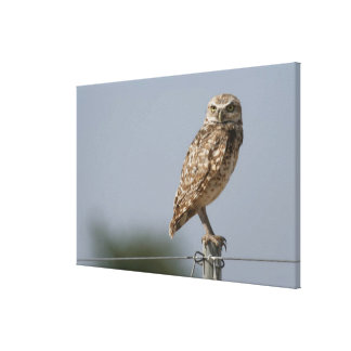 A burrowing owl sitting on a fence post. Taken Canvas Print