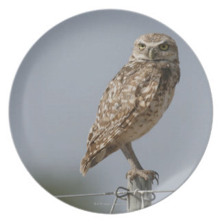 A burrowing owl sitting on a fence post. Taken Melamine Plate