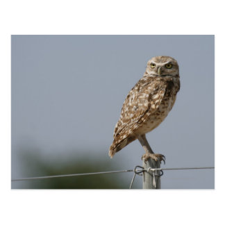 A burrowing owl sitting on a fence post. Taken Postcard