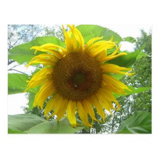 A Busy Bee on a Sunflower Postcard