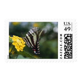 A butterfly, in the family of Swallowtails or Postage Stamps