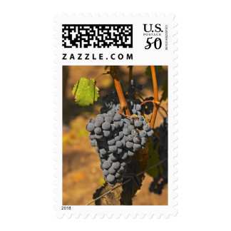 A Cabernet Franc bunch of grapes on a vine in Postage
