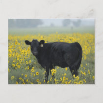 A calf amid the sunflowers of the Nebraska Postcard