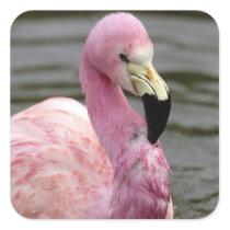 A captive photo of a Andean Flamingo Square Sticker