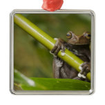 A captive Tapichalaca Tree Frog Hyloscirtus Metal Ornament