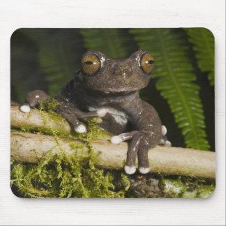 A captive Tapichalaca Tree Frog (Hyloscirtus Mouse Pad