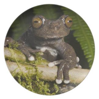 A captive Tapichalaca Tree Frog (Hyloscirtus Party Plate