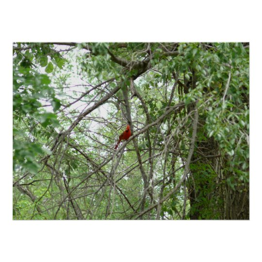 A Cardinal on a distant tree limb Poster