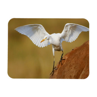 A Cattle Egret (Bubulcus Ibis) Descends Magnet