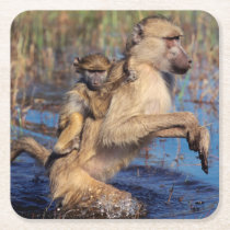 A Chacma Baboon carrying young through a river Square Paper Coaster